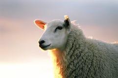绵羊texil 库存图片