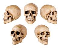 综合的头骨 图库摄影