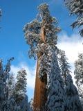 综合财政补贴圣诞树在冬天 库存照片