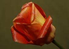绽放五颜六色的花郁金香 库存图片