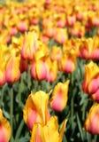 绽放五颜六色的郁金香 免版税库存图片