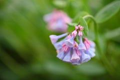绽放会开蓝色钟形花的草春天弗吉尼亚野花 免版税库存照片