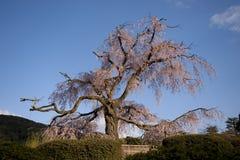 绽放充分的日本老庄严结构树 库存图片