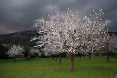 绽放充分的结构树白色 免版税库存照片