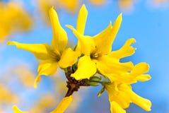 绽放开花连翘属植物弹簧 免版税图库摄影