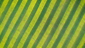 绽放强奸绿色和黄色条纹的斑马样式在农业领域的 股票录像