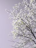 绽放春天结构树 免版税库存照片