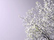 绽放春天结构树 库存照片
