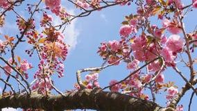 绽放樱桃概念春天结构树