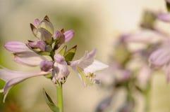 绽放玉簪属植物 库存图片