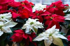 绽放的圣诞节植物 在绽放的一品红作为圣诞装饰 图库摄影