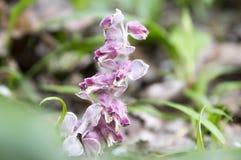 绽放的Lathraea squamaria寄生植物 免版税图库摄影