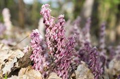 绽放的Lathraea squamaria寄生植物 免版税库存图片