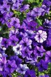 绽放紫色喇叭花 免版税库存图片