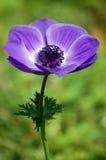 绽放紫色 库存图片