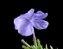 绽放紫色 库存照片