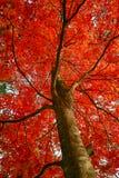 绽放花充分喜欢槭树 免版税库存图片