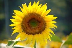 绽放花充分的星期日 库存照片