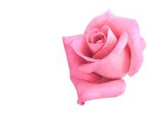 绽放花粉红色上升了 库存图片