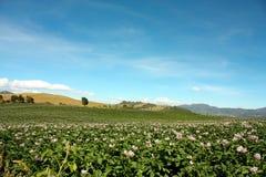 绽放领域种植了土豆 库存图片