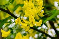 绽放黄色金合欢或榆木 含羞草、金合欢和其他植物分支的 免版税库存图片