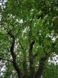 绿化叶茂盛结构树 库存图片