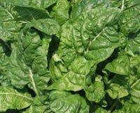 绿化叶茂盛 免版税图库摄影
