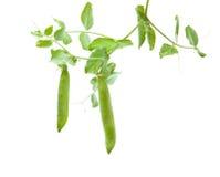 绿化新生长的豌豆荚 免版税图库摄影