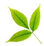 绿化查出的叶子结构树 免版税图库摄影