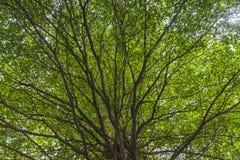 绿化树的叶子的查寻 图库摄影