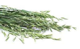 绿化燕麦 库存图片