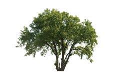 绿化结构树 免版税库存照片