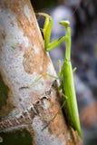绿化螳螂 免版税图库摄影