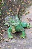 绿化鬣鳞蜥 库存图片