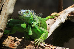 绿化鬣鳞蜥 免版税库存照片