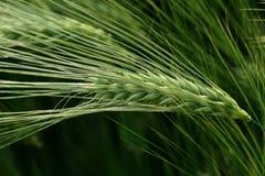 绿化黑麦峰值 免版税库存图片