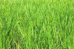 绿化ricefield 库存照片
