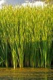 绿叶素 免版税库存图片