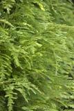 绿叶红木结构树 图库摄影