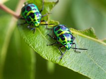 绿宝石加点在叶子的甲虫 库存照片