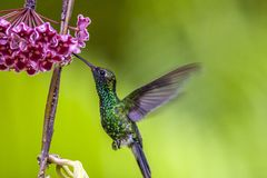 绿宝石chinned蜂鸟, Abeillia abeille 免版税库存图片