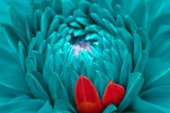 绿松石幻想大丽花和红色瓣特写镜头 库存照片