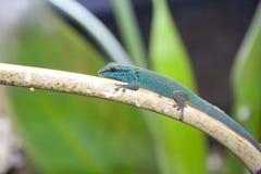 绿松石矮小的壁虎(Lygodactylus williamsi) 库存照片