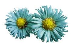 绿松石雏菊花在白色的隔绝了背景 设计的两棵春黄菊 在视图之上 特写镜头 图库摄影