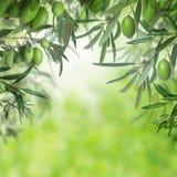 绿橄榄在抽象背景的树特写镜头 库存照片