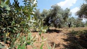 绿橄榄树种植园 股票录像