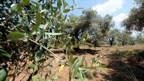 绿橄榄树种植园 股票视频