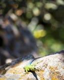 绿沸铜多刺的蜥蜴 库存图片
