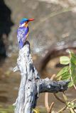 绿沸铜翠鸟坐一棵死的树在Chobe河附近在博茨瓦纳 免版税库存照片