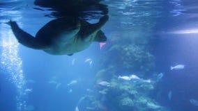 绿浪乌龟海龟属mydas、亦称绿海龟、黑海乌龟或者和平的绿海龟游泳在水面下 股票录像
